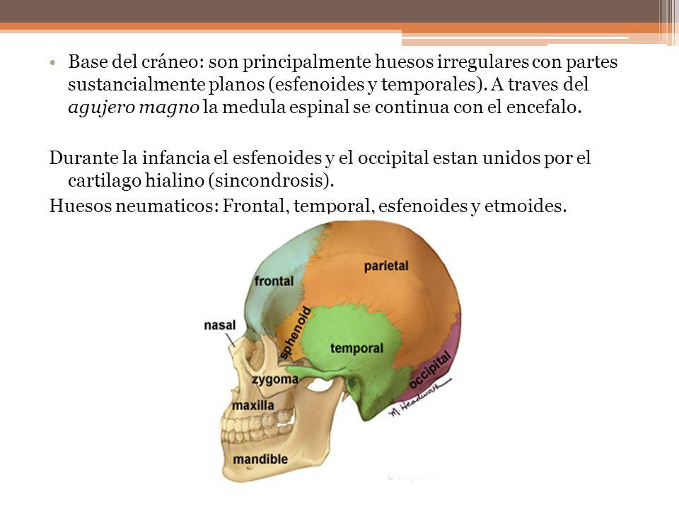 Base del cráneo: son principalmente huesos irregulares con partes sustancialmente planos (esfenoides y temporales). A traves del agujero magno la medu