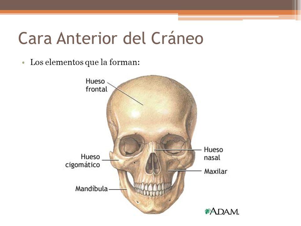 Cara Anterior del Cráneo Los elementos que la forman: