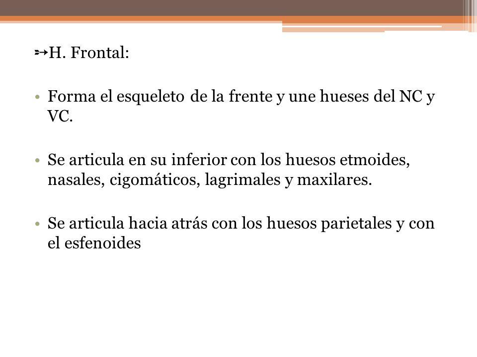 H. Frontal: Forma el esqueleto de la frente y une hueses del NC y VC. Se articula en su inferior con los huesos etmoides, nasales, cigomáticos, lagrim