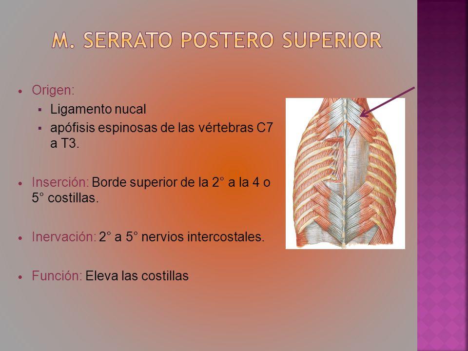 Origen: Ligamento nucal apófisis espinosas de las vértebras C7 a T3. Inserción: Borde superior de la 2° a la 4 o 5° costillas. Inervación: 2° a 5° ner