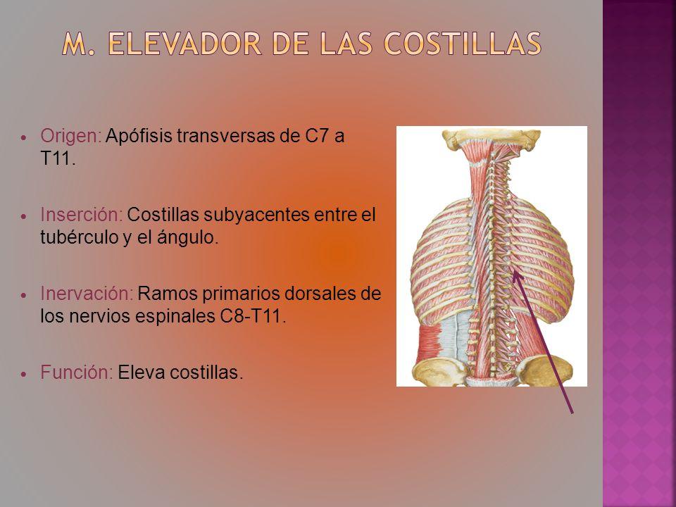 Origen: Apófisis transversas de C7 a T11. Inserción: Costillas subyacentes entre el tubérculo y el ángulo. Inervación: Ramos primarios dorsales de los