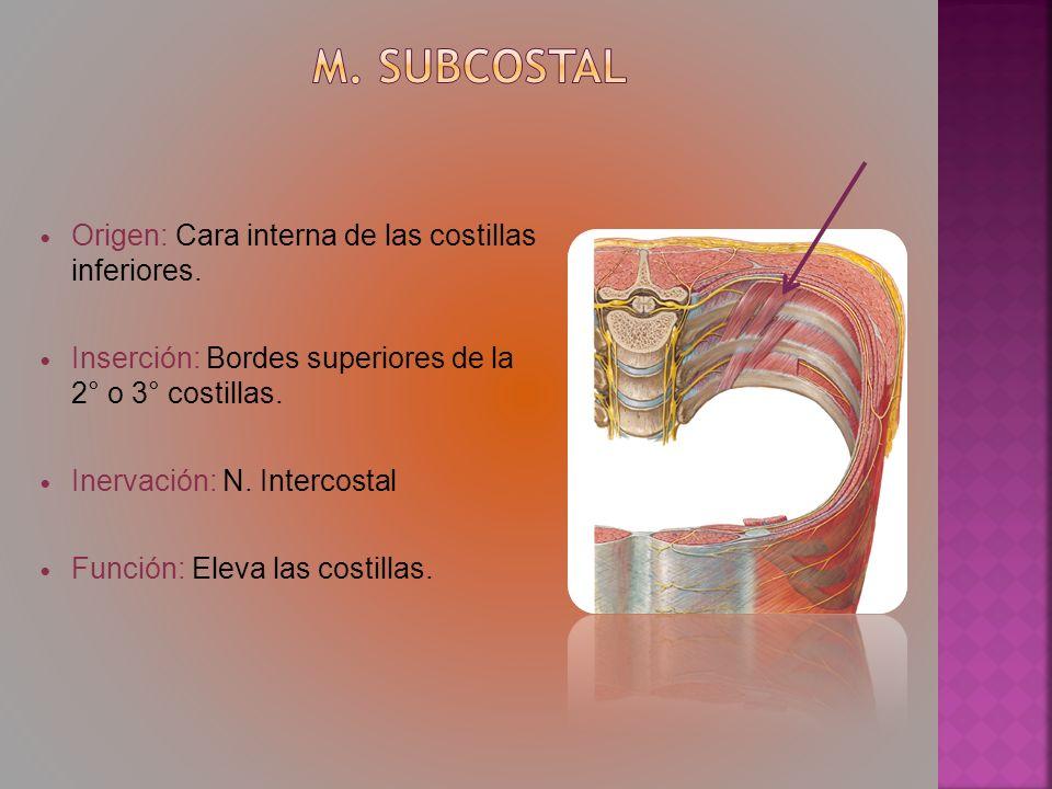 Origen: Cara interna de las costillas inferiores. Inserción: Bordes superiores de la 2° o 3° costillas. Inervación: N. Intercostal Función: Eleva las