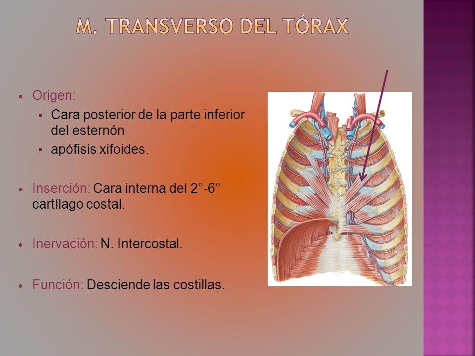 Origen: Cara posterior de la parte inferior del esternón apófisis xifoides. Inserción: Cara interna del 2°-6° cartílago costal. Inervación: N. Interco