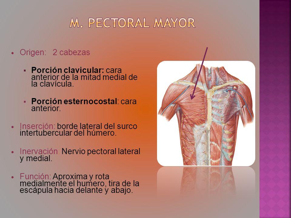 Origen: 2 cabezas Porción clavicular: cara anterior de la mitad medial de la clavícula. Porción esternocostal: cara anterior. Inserción: borde lateral