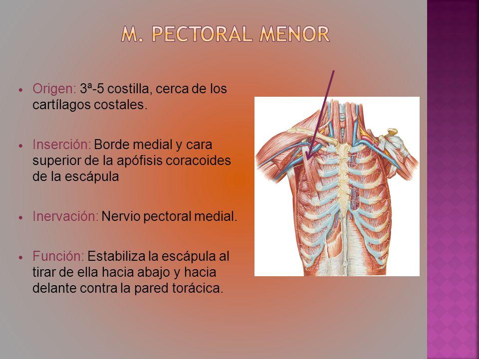 Origen: 3ª-5 costilla, cerca de los cartílagos costales. Inserción: Borde medial y cara superior de la apófisis coracoides de la escápula Inervación: