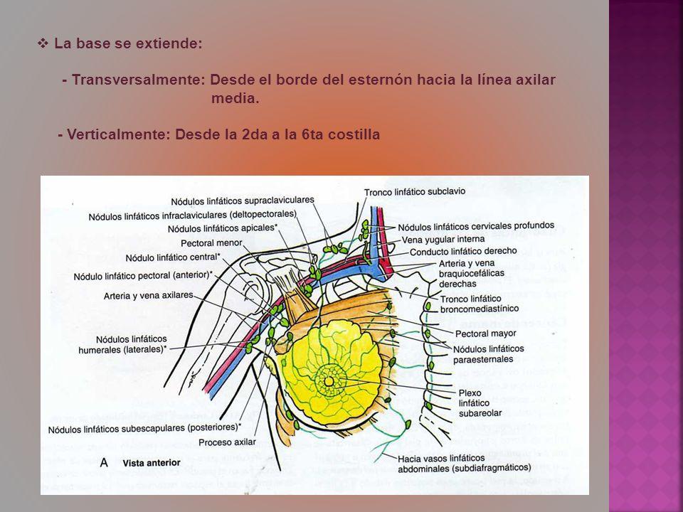 La base se extiende: - Transversalmente: Desde el borde del esternón hacia la línea axilar media. - Verticalmente: Desde la 2da a la 6ta costilla
