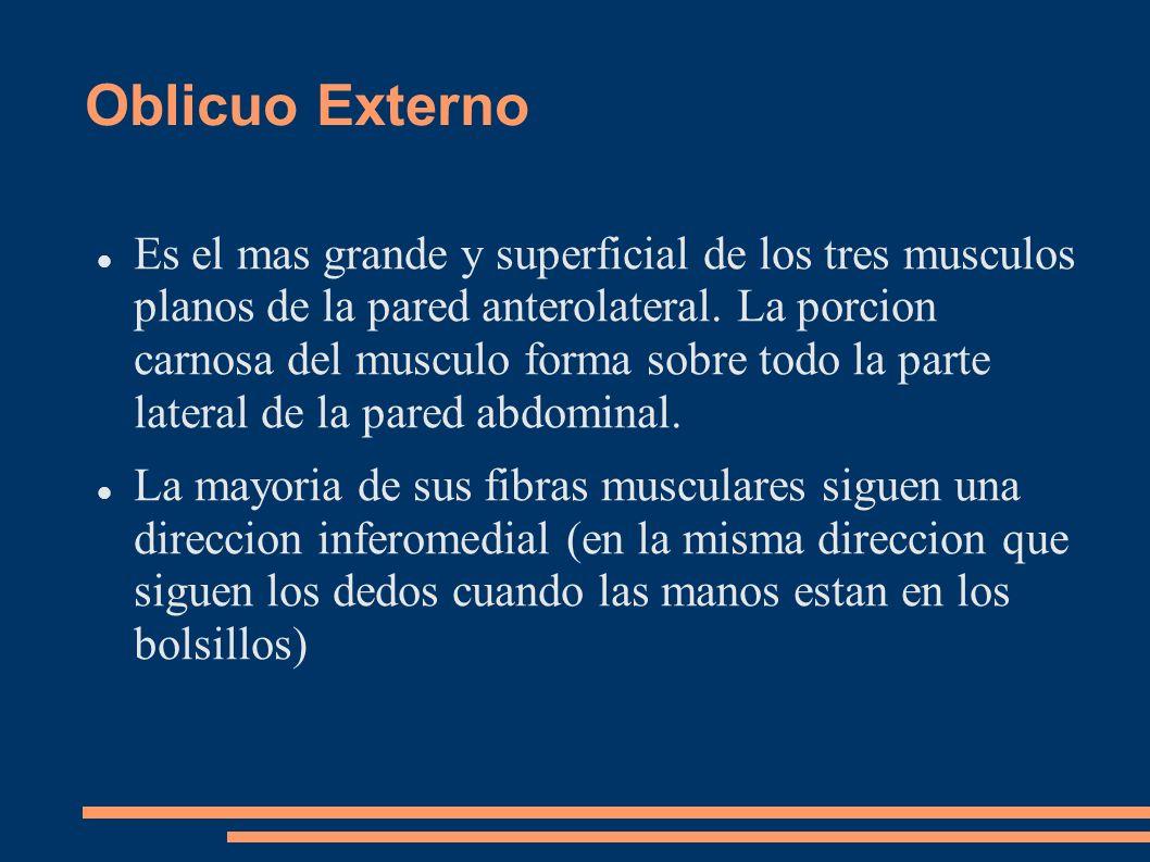 Oblicuo Externo Es el mas grande y superficial de los tres musculos planos de la pared anterolateral. La porcion carnosa del musculo forma sobre todo