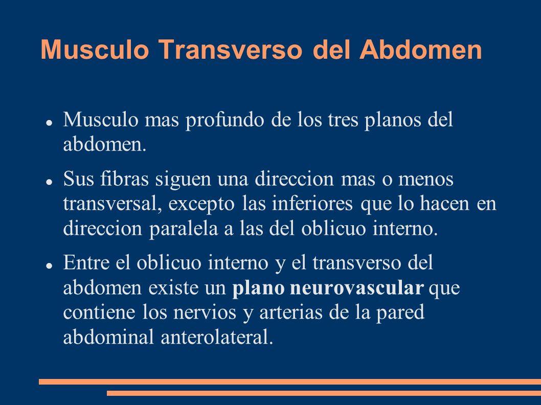 Musculo Transverso del Abdomen Musculo mas profundo de los tres planos del abdomen. Sus fibras siguen una direccion mas o menos transversal, excepto l