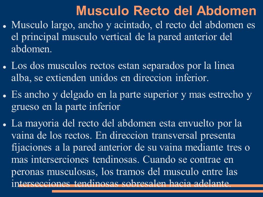 Musculo Recto del Abdomen Musculo largo, ancho y acintado, el recto del abdomen es el principal musculo vertical de la pared anterior del abdomen. Los