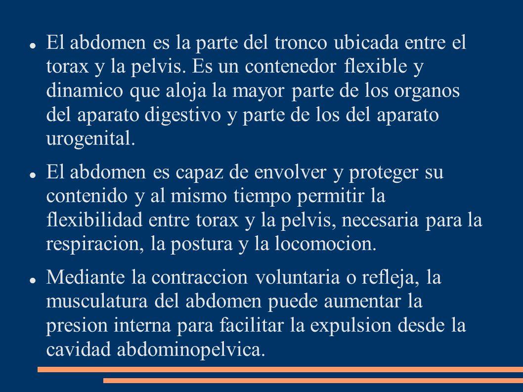 El abdomen es la parte del tronco ubicada entre el torax y la pelvis. Es un contenedor flexible y dinamico que aloja la mayor parte de los organos del