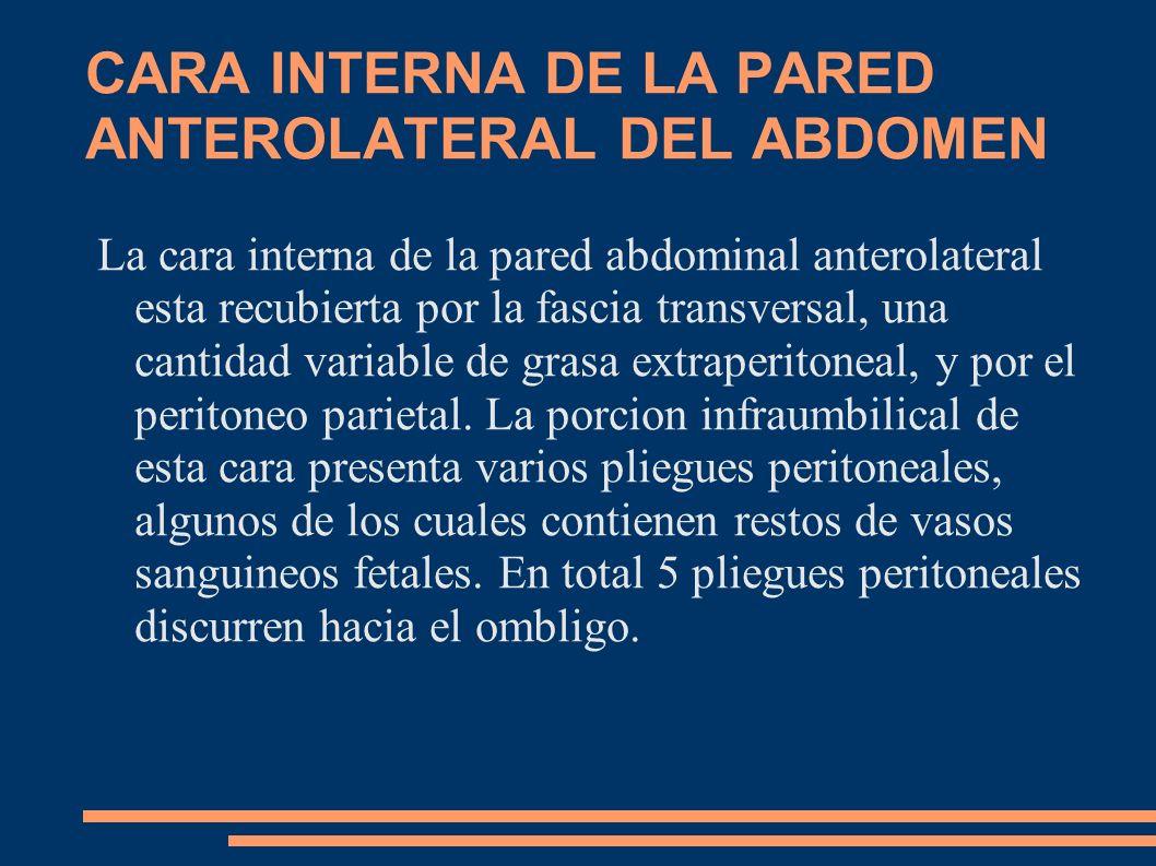 CARA INTERNA DE LA PARED ANTEROLATERAL DEL ABDOMEN La cara interna de la pared abdominal anterolateral esta recubierta por la fascia transversal, una