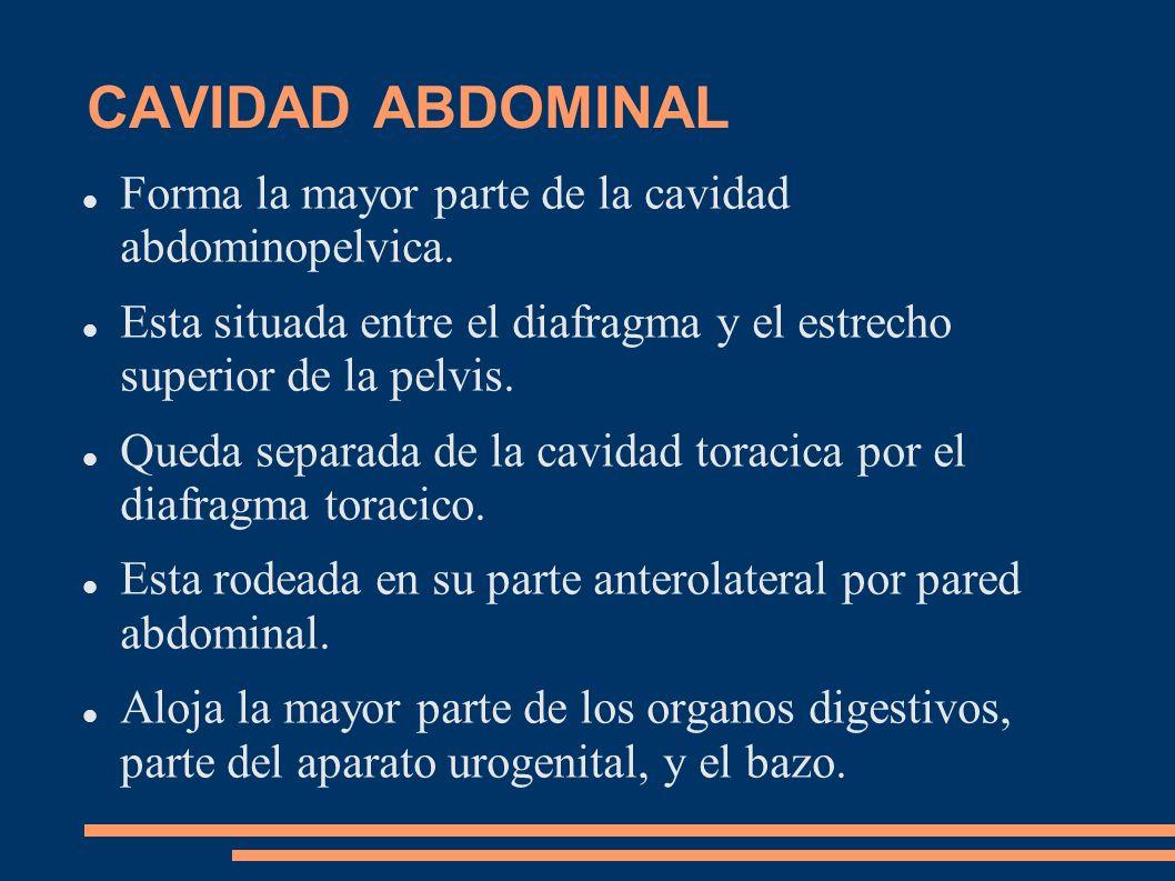 CAVIDAD ABDOMINAL Forma la mayor parte de la cavidad abdominopelvica. Esta situada entre el diafragma y el estrecho superior de la pelvis. Queda separ