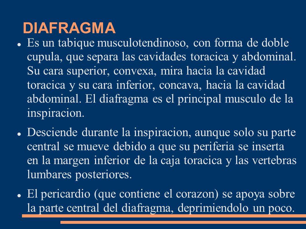 DIAFRAGMA Es un tabique musculotendinoso, con forma de doble cupula, que separa las cavidades toracica y abdominal. Su cara superior, convexa, mira ha