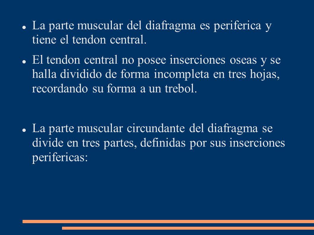 La parte muscular del diafragma es periferica y tiene el tendon central. El tendon central no posee inserciones oseas y se halla dividido de forma inc