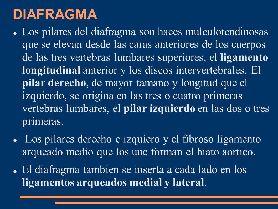 DIAFRAGMA Los pilares del diafragma son haces mulculotendinosas que se elevan desde las caras anteriores de los cuerpos de las tres vertebras lumbares