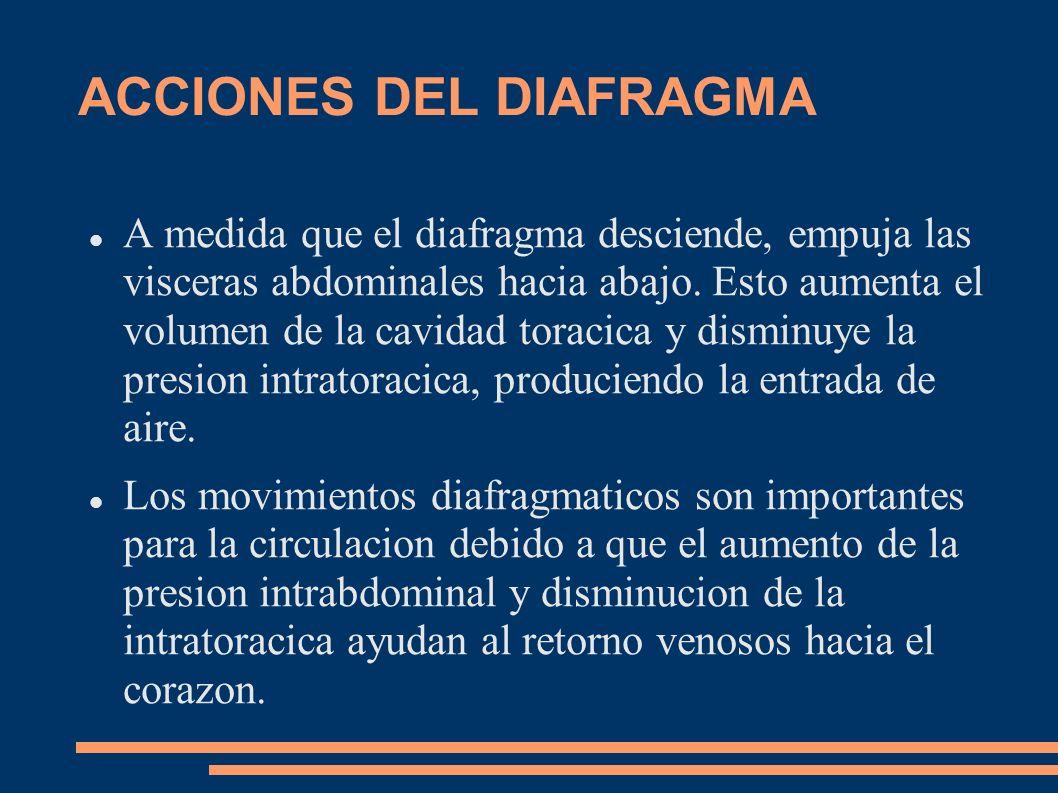 ACCIONES DEL DIAFRAGMA A medida que el diafragma desciende, empuja las visceras abdominales hacia abajo. Esto aumenta el volumen de la cavidad toracic