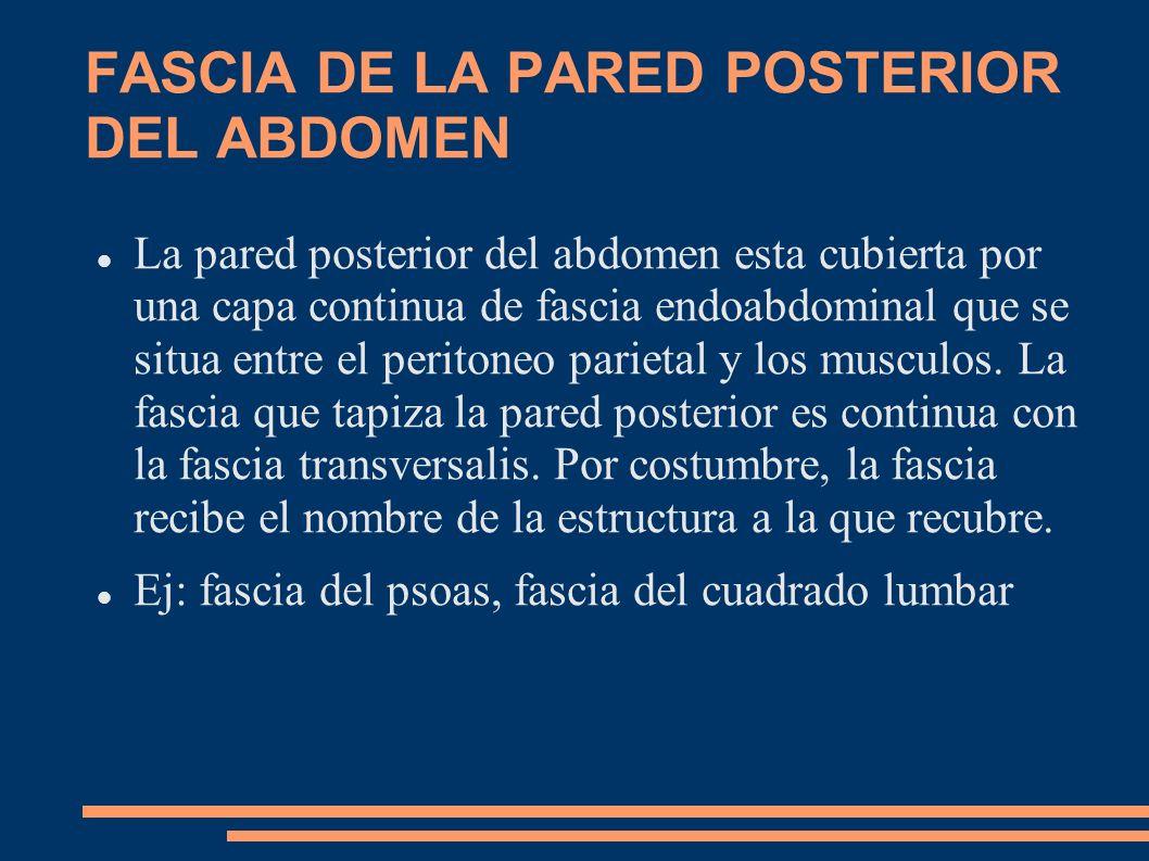FASCIA DE LA PARED POSTERIOR DEL ABDOMEN La pared posterior del abdomen esta cubierta por una capa continua de fascia endoabdominal que se situa entre