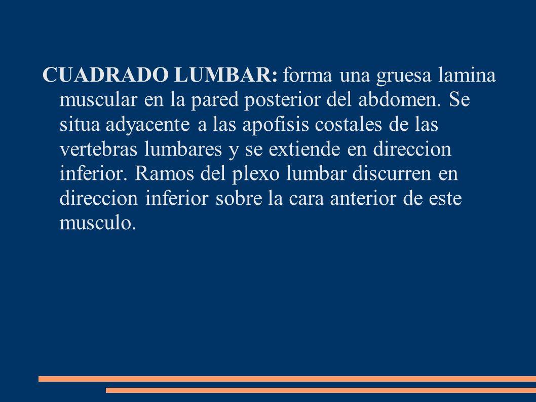 CUADRADO LUMBAR: forma una gruesa lamina muscular en la pared posterior del abdomen. Se situa adyacente a las apofisis costales de las vertebras lumba