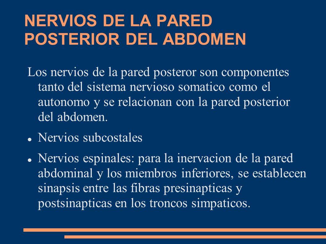 NERVIOS DE LA PARED POSTERIOR DEL ABDOMEN Los nervios de la pared posteror son componentes tanto del sistema nervioso somatico como el autonomo y se r