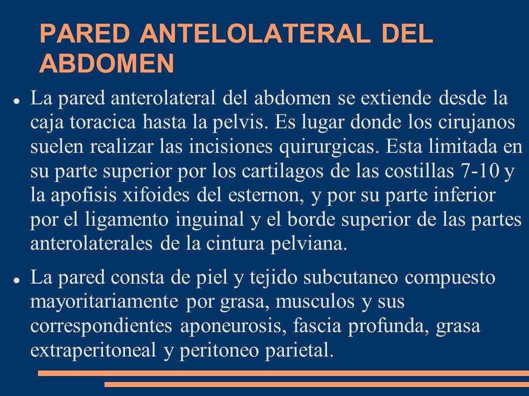 PARED ANTELOLATERAL DEL ABDOMEN La pared anterolateral del abdomen se extiende desde la caja toracica hasta la pelvis. Es lugar donde los cirujanos su