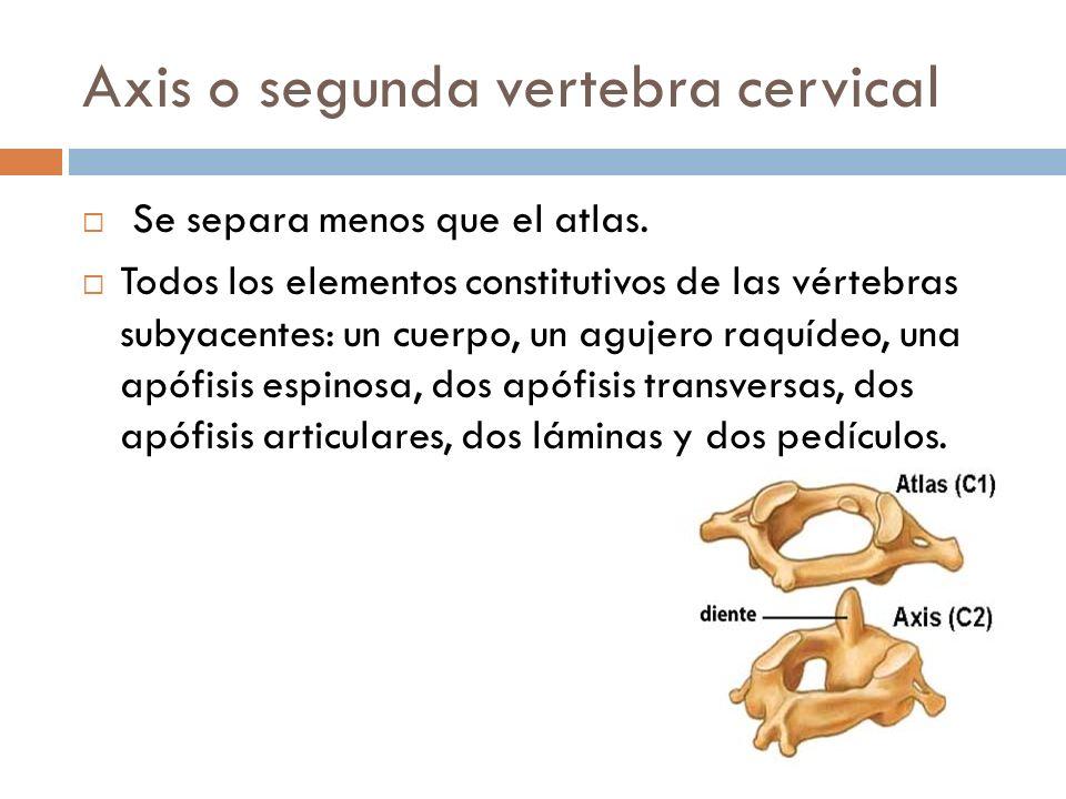 Axis o segunda vertebra cervical Se separa menos que el atlas. Todos los elementos constitutivos de las vértebras subyacentes: un cuerpo, un agujero r