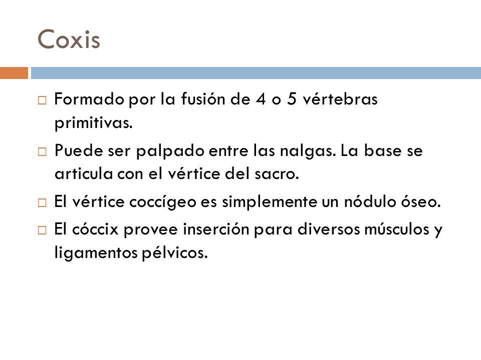 Coxis Formado por la fusión de 4 o 5 vértebras primitivas. Puede ser palpado entre las nalgas. La base se articula con el vértice del sacro. El vértic