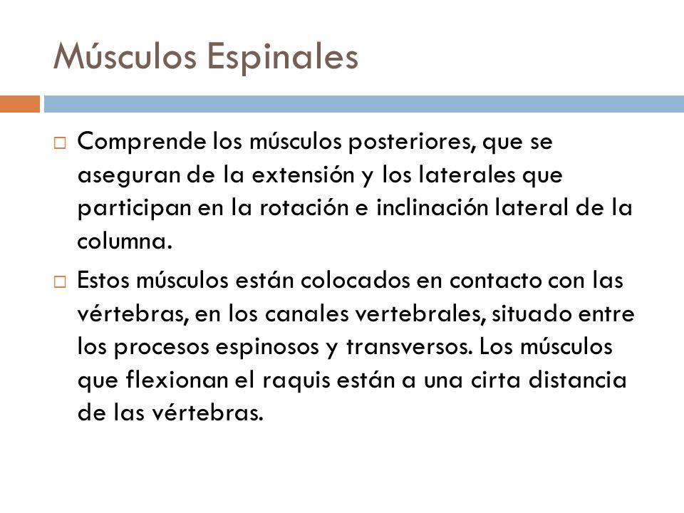 Músculos Espinales Comprende los músculos posteriores, que se aseguran de la extensión y los laterales que participan en la rotación e inclinación lat