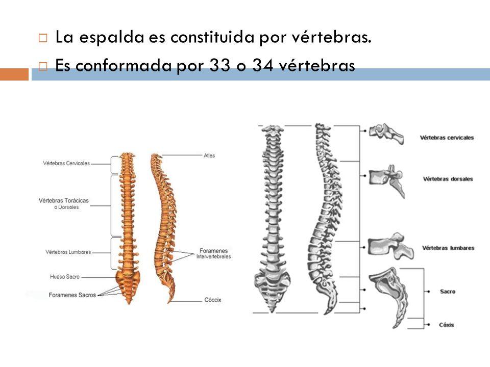 La espalda es constituida por vértebras. Es conformada por 33 o 34 vértebras