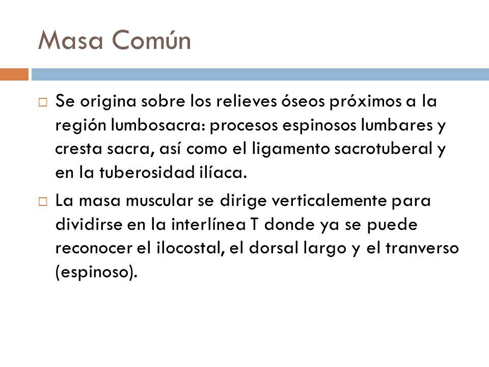 Masa Común Se origina sobre los relieves óseos próximos a la región lumbosacra: procesos espinosos lumbares y cresta sacra, así como el ligamento sacr