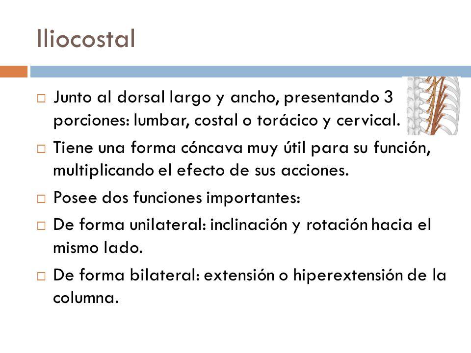 Iliocostal Junto al dorsal largo y ancho, presentando 3 porciones: lumbar, costal o torácico y cervical. Tiene una forma cóncava muy útil para su func
