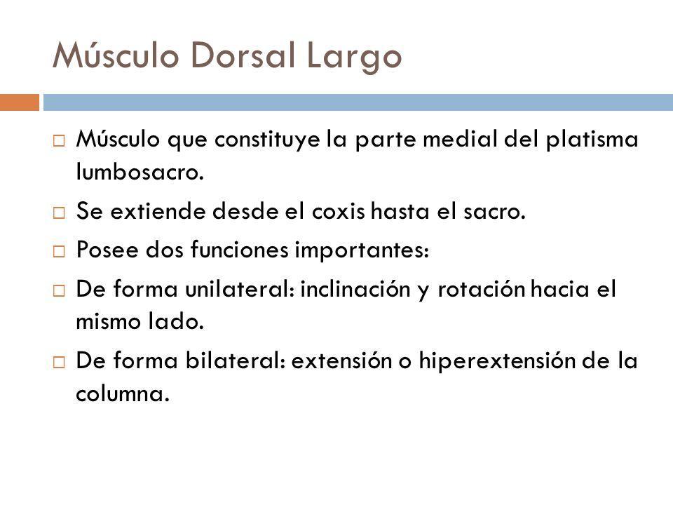 Músculo Dorsal Largo Músculo que constituye la parte medial del platisma lumbosacro. Se extiende desde el coxis hasta el sacro. Posee dos funciones im