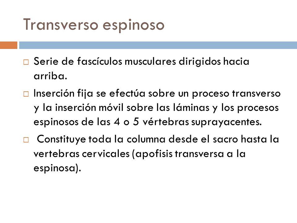 Transverso espinoso Serie de fascículos musculares dirigidos hacia arriba. Inserción fija se efectúa sobre un proceso transverso y la inserción móvil