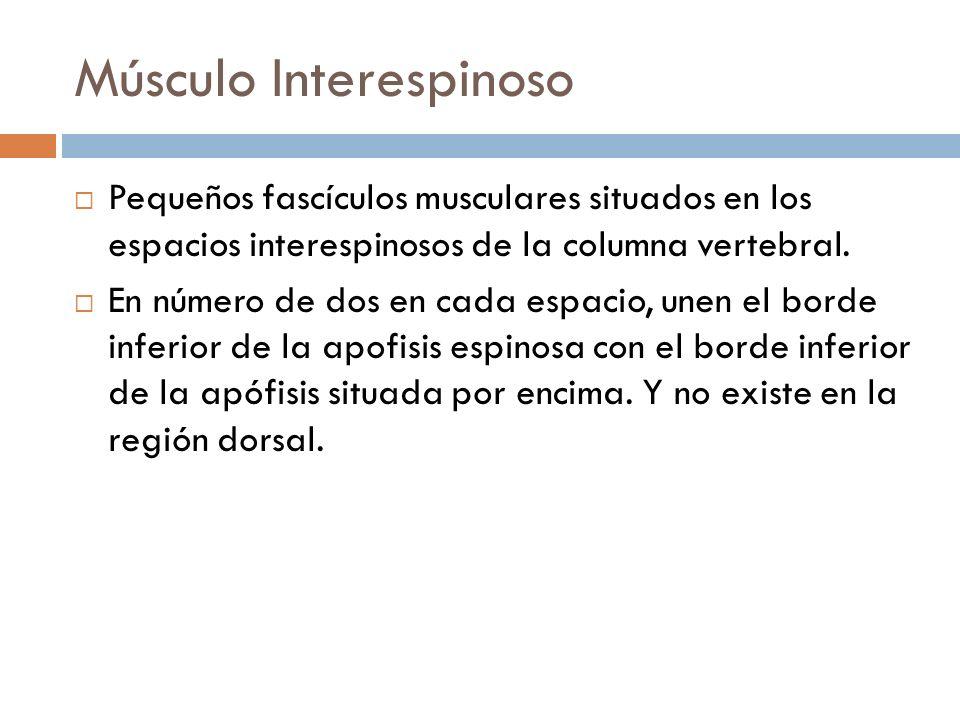Músculo Interespinoso Pequeños fascículos musculares situados en los espacios interespinosos de la columna vertebral. En número de dos en cada espacio