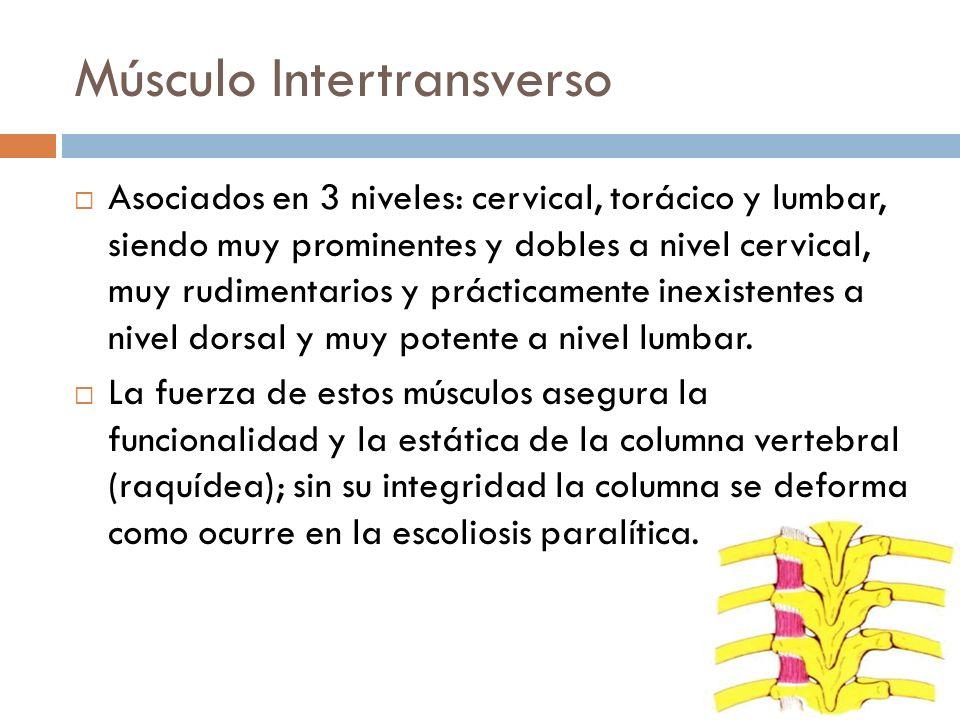 Músculo Intertransverso Asociados en 3 niveles: cervical, torácico y lumbar, siendo muy prominentes y dobles a nivel cervical, muy rudimentarios y prá