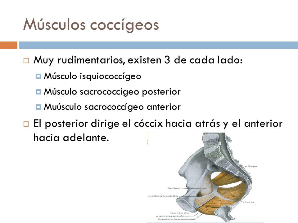 Músculos coccígeos Muy rudimentarios, existen 3 de cada lado: Músculo isquiococcígeo Músculo sacrococcígeo posterior Muúsculo sacrococcígeo anterior E