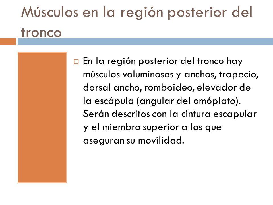 Músculos en la región posterior del tronco En la región posterior del tronco hay músculos voluminosos y anchos, trapecio, dorsal ancho, romboideo, ele