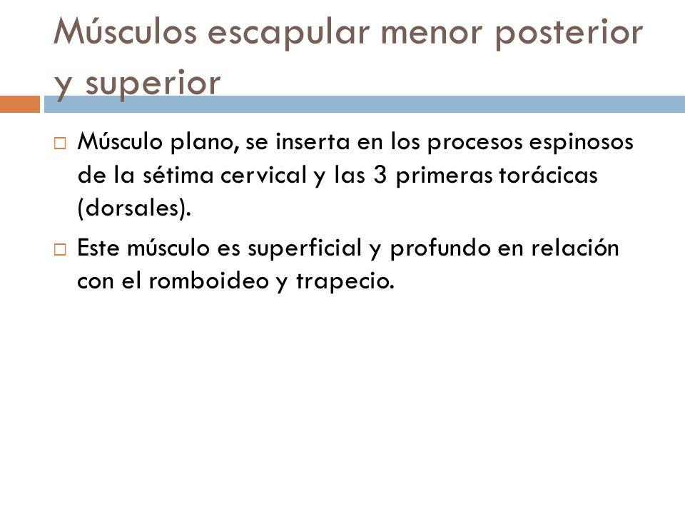 Músculos escapular menor posterior y superior Músculo plano, se inserta en los procesos espinosos de la sétima cervical y las 3 primeras torácicas (do