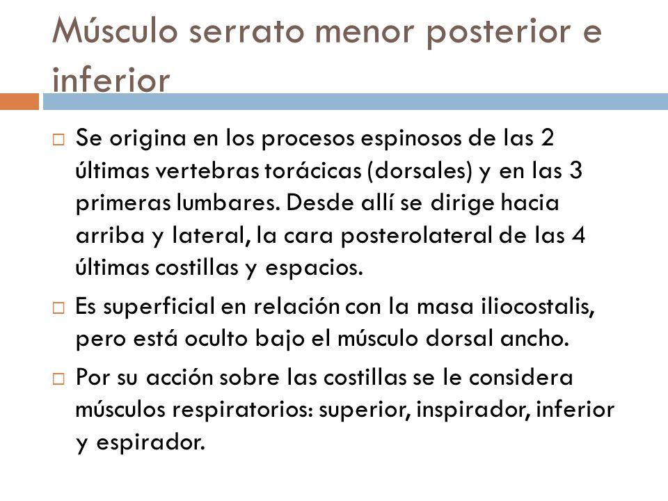 Músculo serrato menor posterior e inferior Se origina en los procesos espinosos de las 2 últimas vertebras torácicas (dorsales) y en las 3 primeras lu