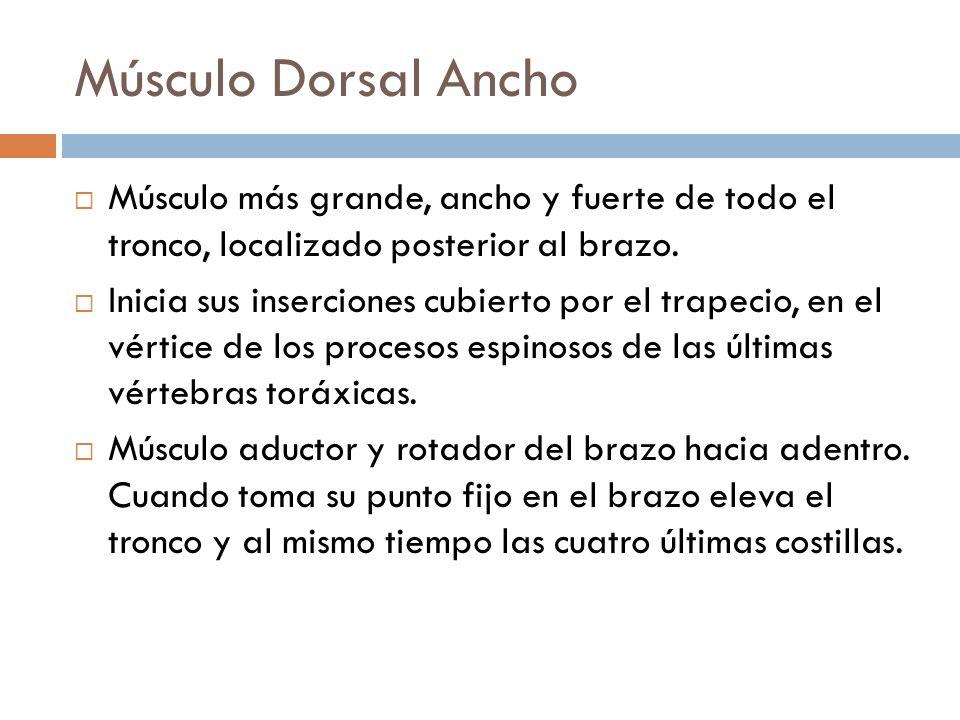 Músculo Dorsal Ancho Músculo más grande, ancho y fuerte de todo el tronco, localizado posterior al brazo. Inicia sus inserciones cubierto por el trape