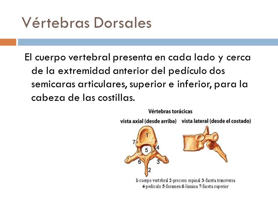 Vértebras Dorsales El cuerpo vertebral presenta en cada lado y cerca de la extremidad anterior del pedículo dos semicaras articulares, superior e infe