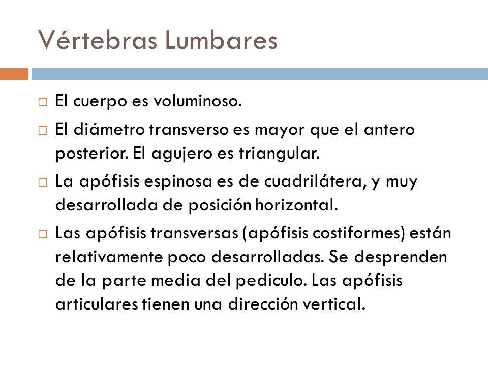 Vértebras Lumbares El cuerpo es voluminoso. El diámetro transverso es mayor que el antero posterior. El agujero es triangular. La apófisis espinosa es