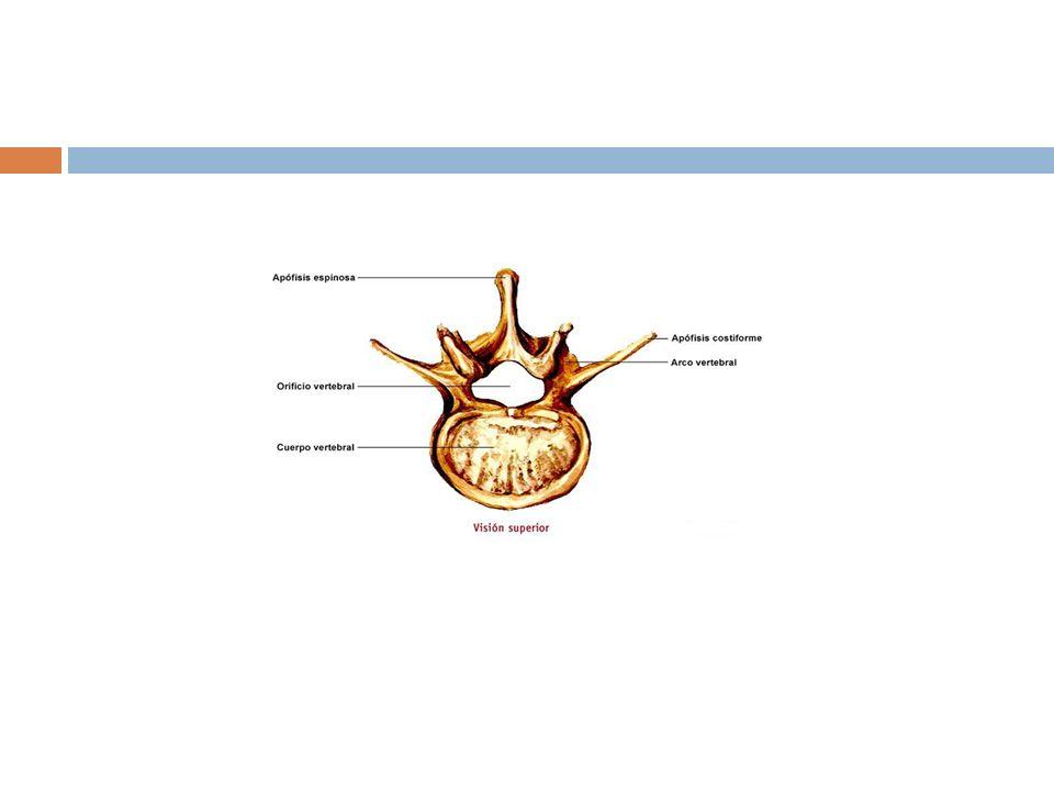 Para reconocer una vértebra Se examina la base de los procesos transversos; se observa si existe o no un foramen.