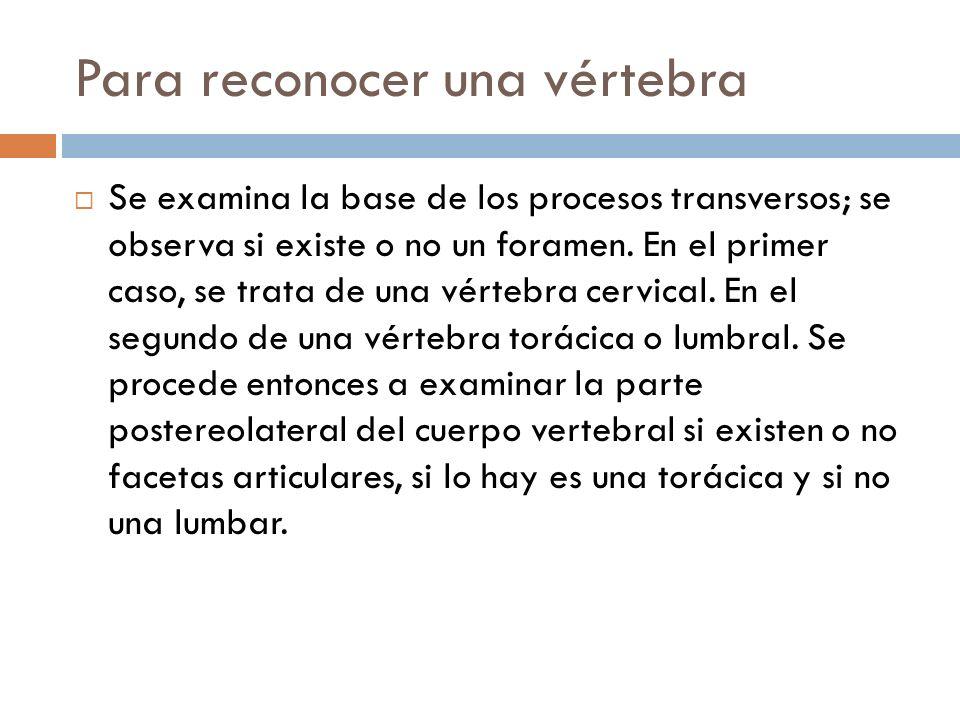 Para reconocer una vértebra Se examina la base de los procesos transversos; se observa si existe o no un foramen. En el primer caso, se trata de una v