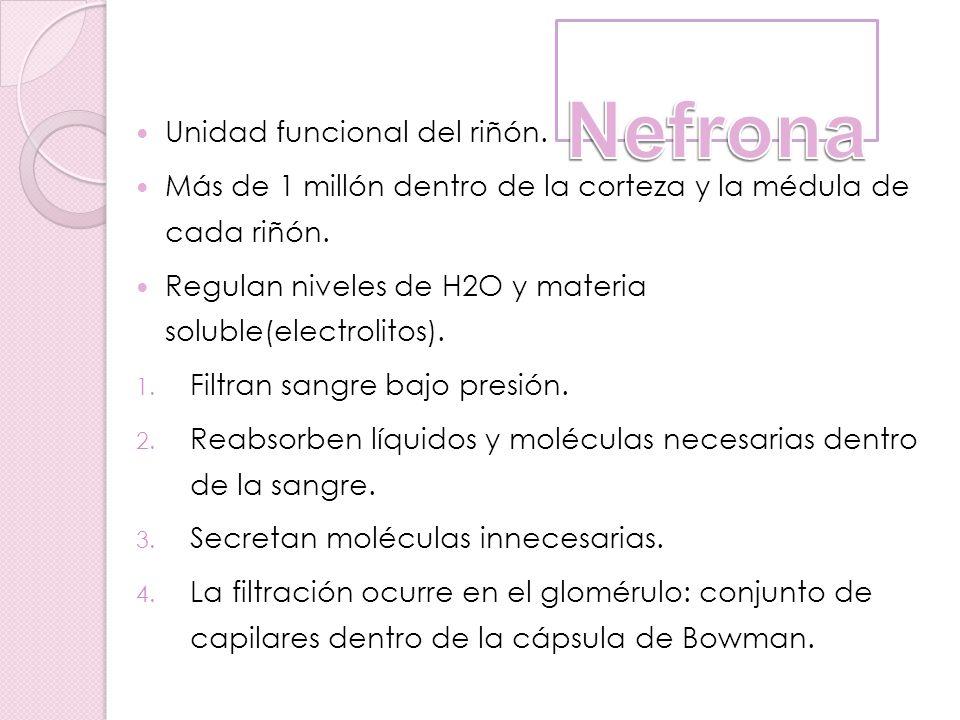 Unidad funcional del riñón. Más de 1 millón dentro de la corteza y la médula de cada riñón. Regulan niveles de H2O y materia soluble(electrolitos). 1.
