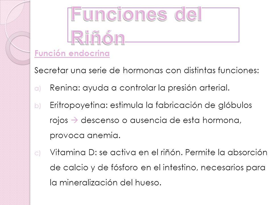 Función endocrina Secretar una serie de hormonas con distintas funciones: a) Renina: ayuda a controlar la presión arterial. b) Eritropoyetina: estimul