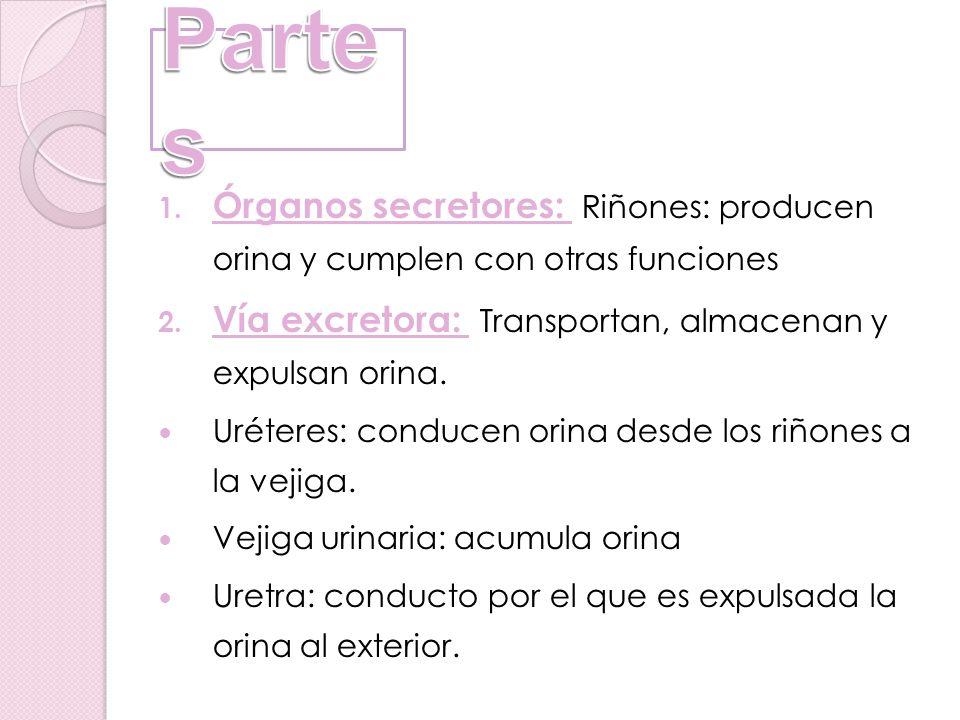 1. Órganos secretores: Riñones: producen orina y cumplen con otras funciones 2. Vía excretora: Transportan, almacenan y expulsan orina. Uréteres: cond