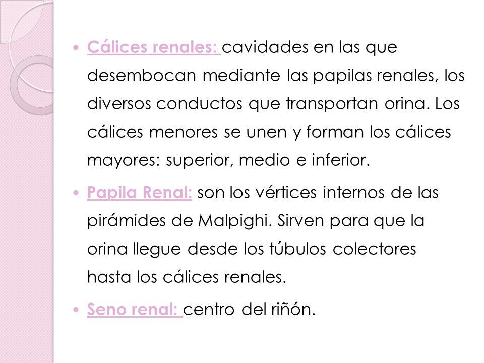 Pelvis renal: confluencia de los tres cálices mayores, continúa con los uréteres.