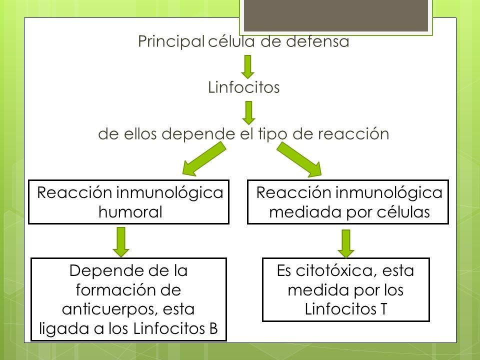 Principal célula de defensa Linfocitos de ellos depende el tipo de reacción Reacción inmunológica humoral Reacción inmunológica mediada por células De