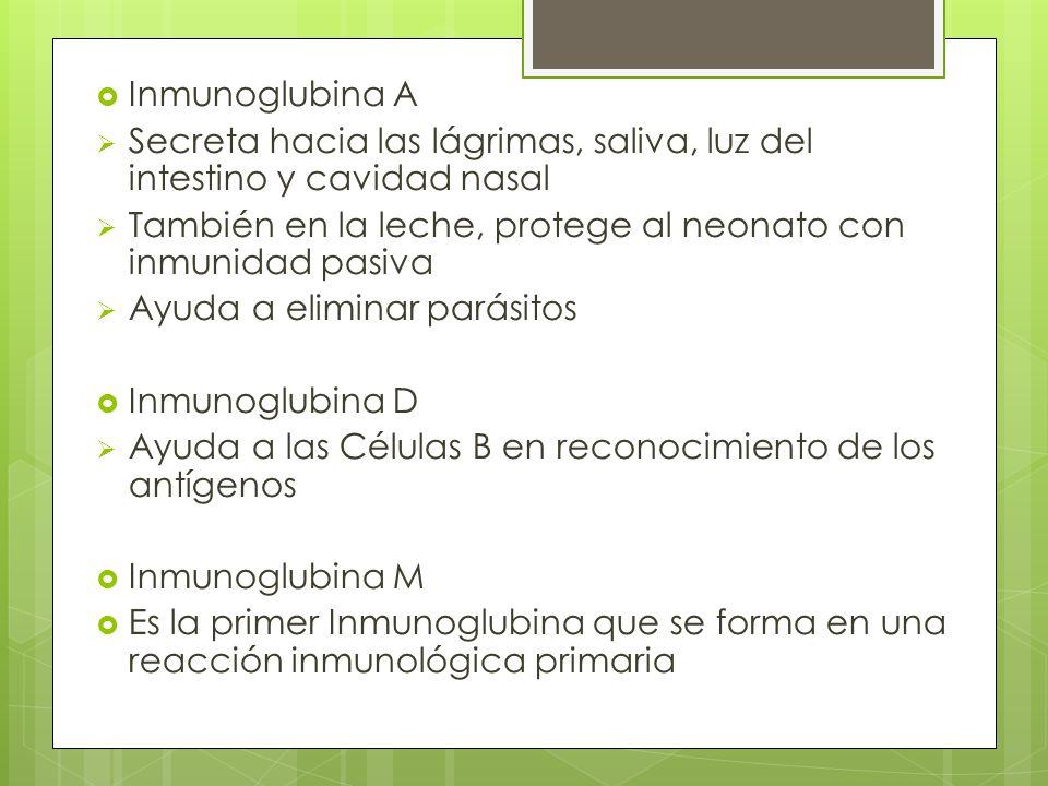 Inmunoglubina A Secreta hacia las lágrimas, saliva, luz del intestino y cavidad nasal También en la leche, protege al neonato con inmunidad pasiva Ayu