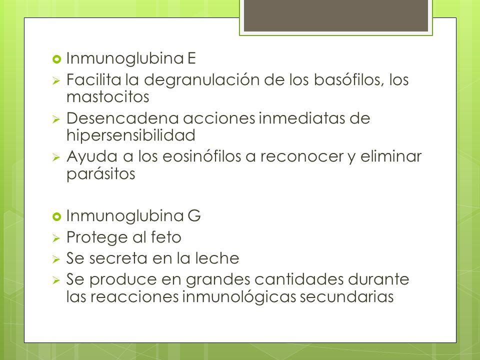 Inmunoglubina E Facilita la degranulación de los basófilos, los mastocitos Desencadena acciones inmediatas de hipersensibilidad Ayuda a los eosinófilo